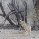 jackal cub playing with mouse 4