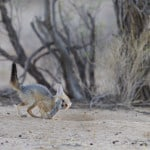 jackal cub playing with mouse 3