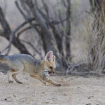 jackal cub playing with mouse 5
