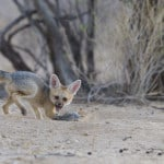jackal cub playing with mouse 2
