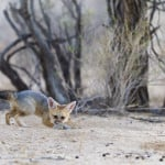 jackal cub playing with mouse 1