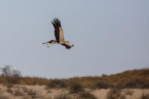 secretarybird in flight